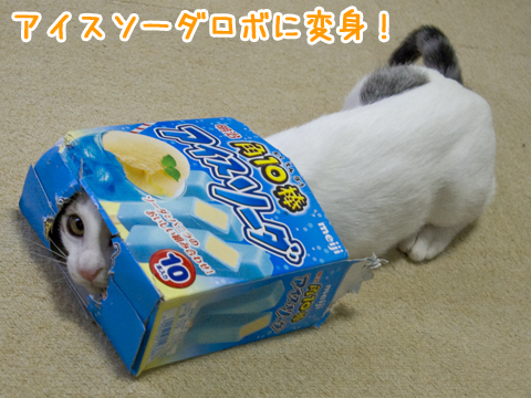 箱に入るのが好きな子猫 cat in a box