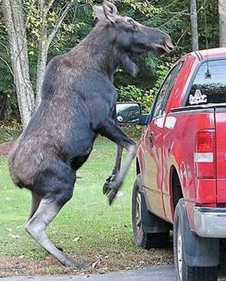 funny elk