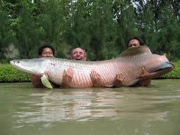 Notícias - Os 10 maiores peixes de água doce do mundo 10-+pirarucu