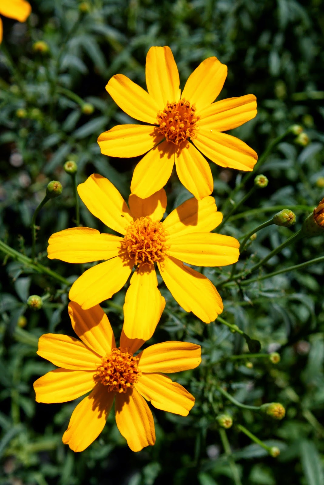Copper Canyon Daisy