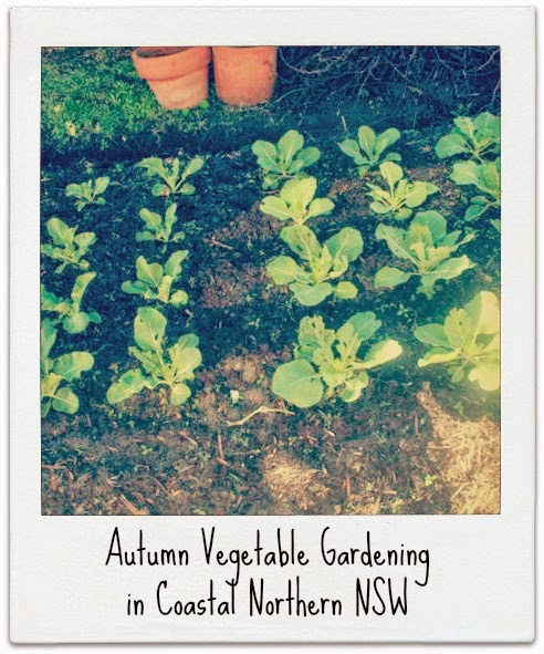 Autumn Vegetable Gardening in Coastal Northern NSW - Chamomile and Peppermint Blog