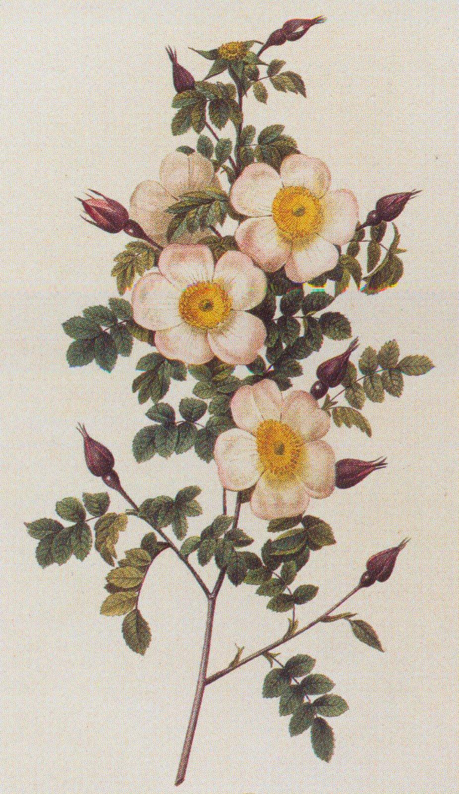 inkspired musings: The North Dakota Wild Prairie Rose926 x 1600 jpeg 383kB