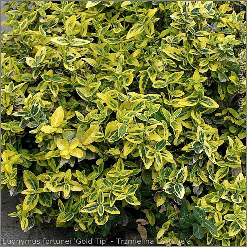 Euonymus fortunei 'Gold Tip' leawes - Trzmielina Fortune'a 'Gold Tip' liście