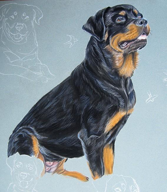 dessin rottweiler