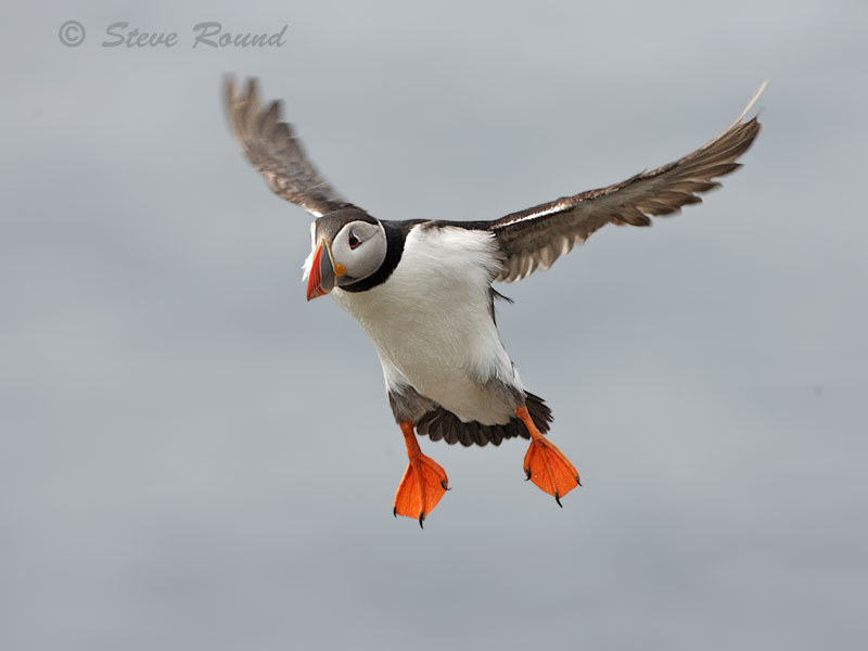 puffin, bird