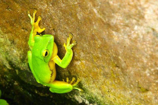 green frog, Ryukyu