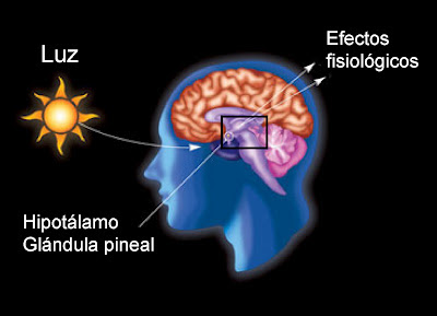 La luz incide sobre la glándula pineal e inhibe la síntesis de melatonina