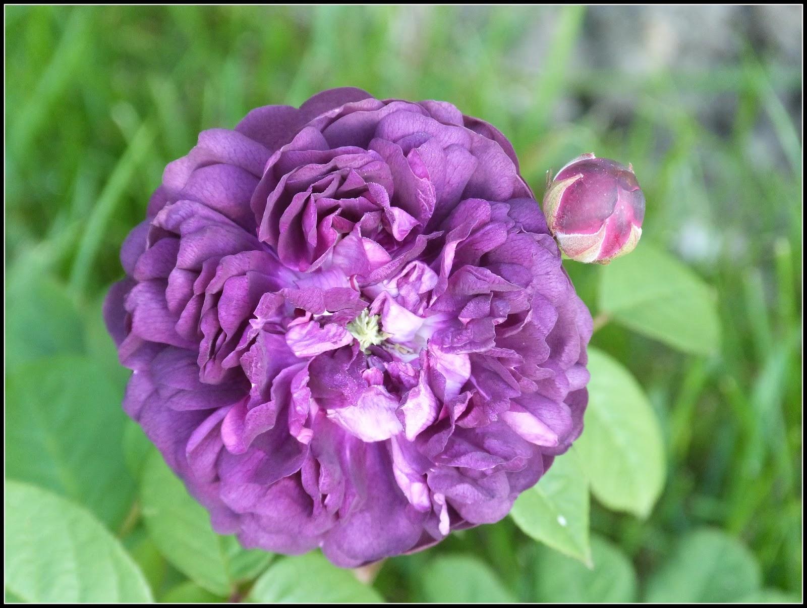 Un jardin des fleurs bilan sur mes rosiers non remontants - Taille des framboisiers non remontants ...