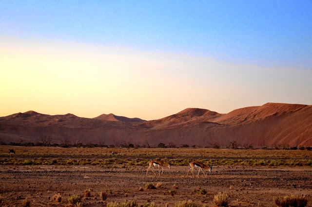 Springbok grazing in the desert