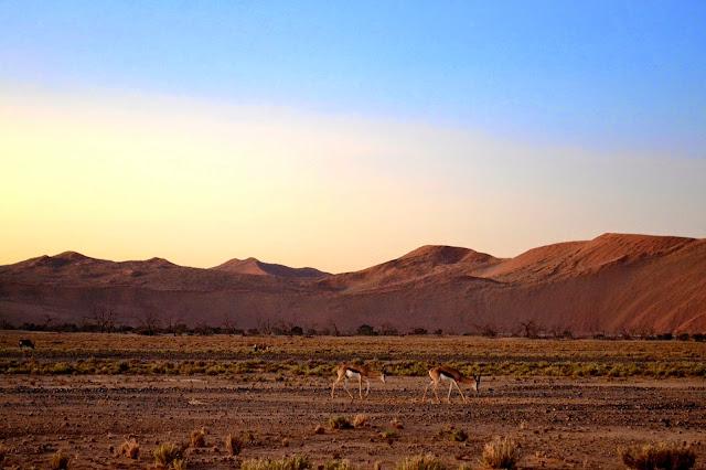 Springbok grazing in the desert