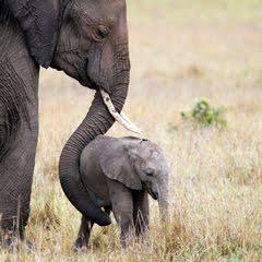 Elephant - Samburu Reserve