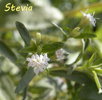vanzare plante de stevia pentru zahar. Black Bedroom Furniture Sets. Home Design Ideas