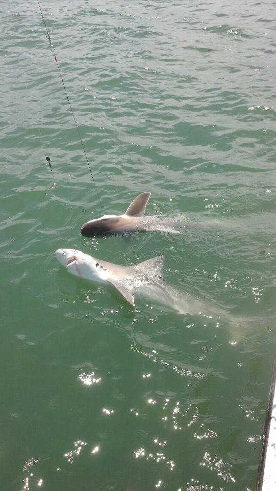 Galveston bay texas and sabine lake fishing reports 08 09 for Shark fishing texas