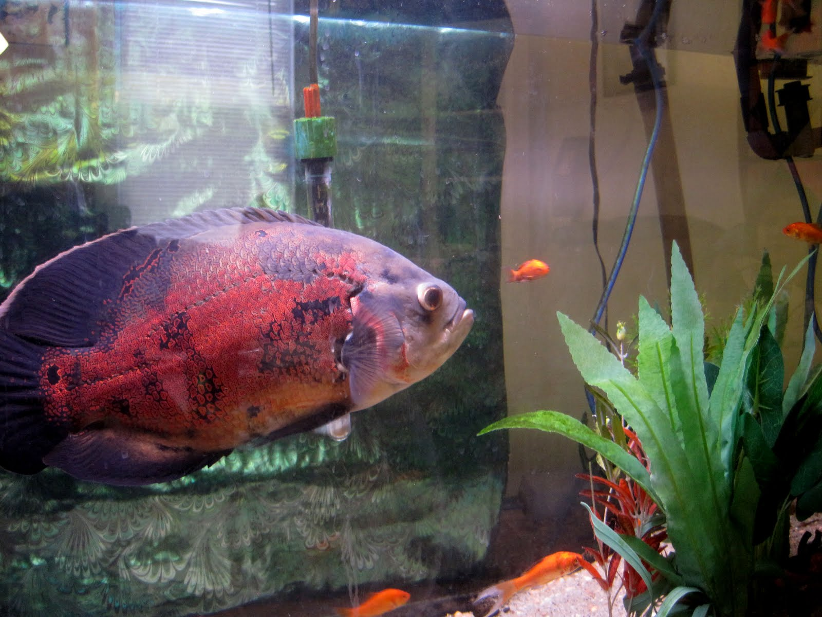 Above is a picture I took of Giant Oscar Fish
