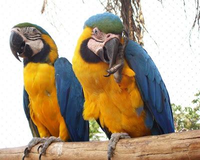 Espécies de Araras encontradas no Brasil