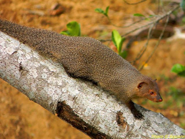 Female Indian Grey Mongoose