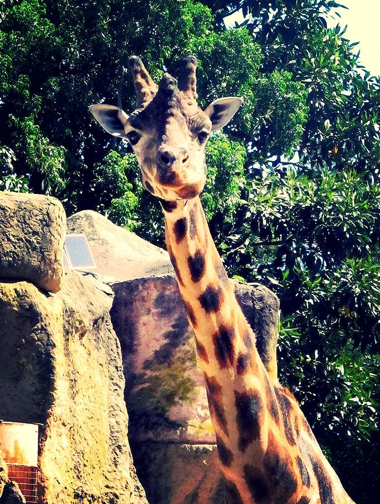 young-giraffe-closeup-melbourne-zoo-photo-by-susan-wellington