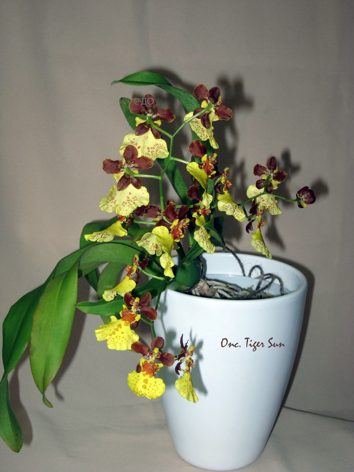 Oncidium Tiger Sun - цветение орхидеи в 2013 году - общий план