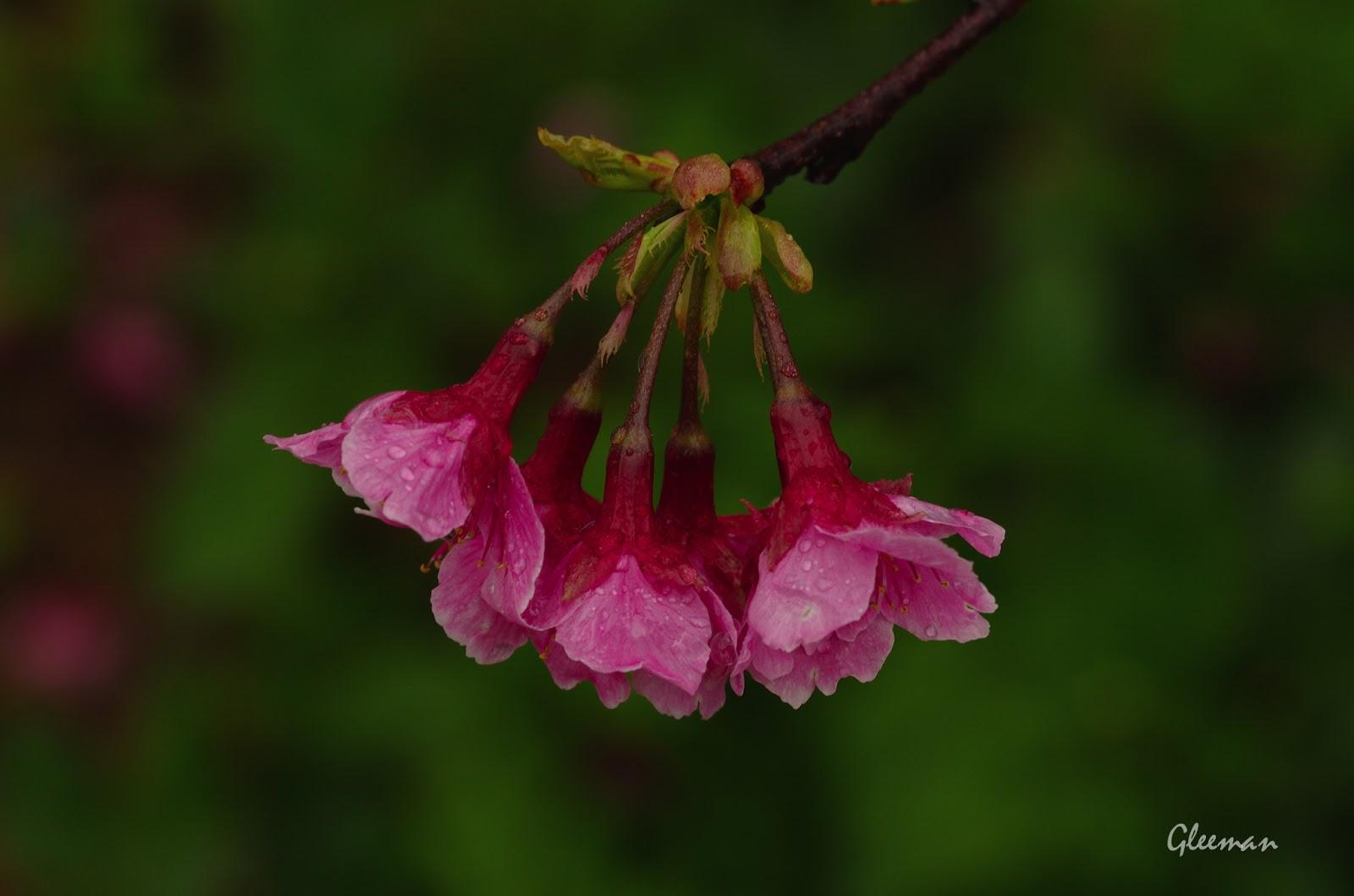 雞南山腳的美麗櫻花。微雨。