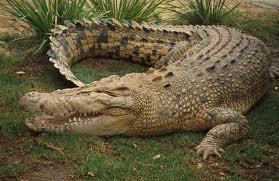 http://2.bp.blogspot.com/-f0JwD4kXJYI/TZq6wf8OoqI/AAAAAAAAAAc/SplLzKZUo78/s1600/Estuarine+crocodile1.jpg