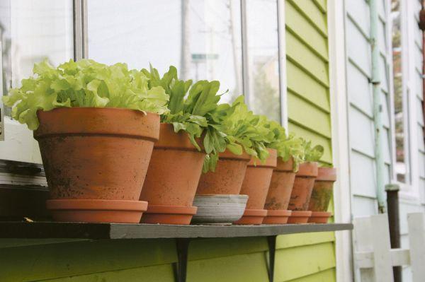 Cultivar lechugas en maceta guia de jardin - Plantar en maceta ...