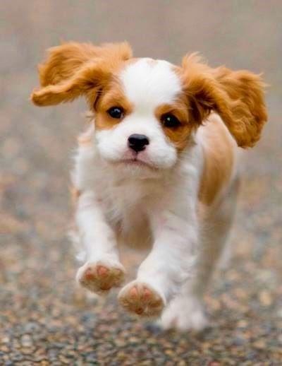 Cute Cavalier King Charles Spaniel