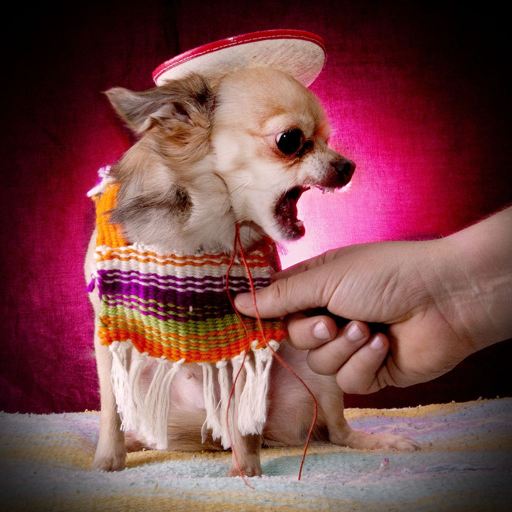 19. Chihuahua by Janice Sauce