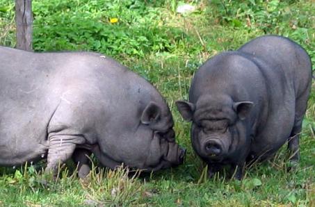 свиней и их помеси.