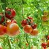 Cara Menanam Tomat dengan Hidroponik