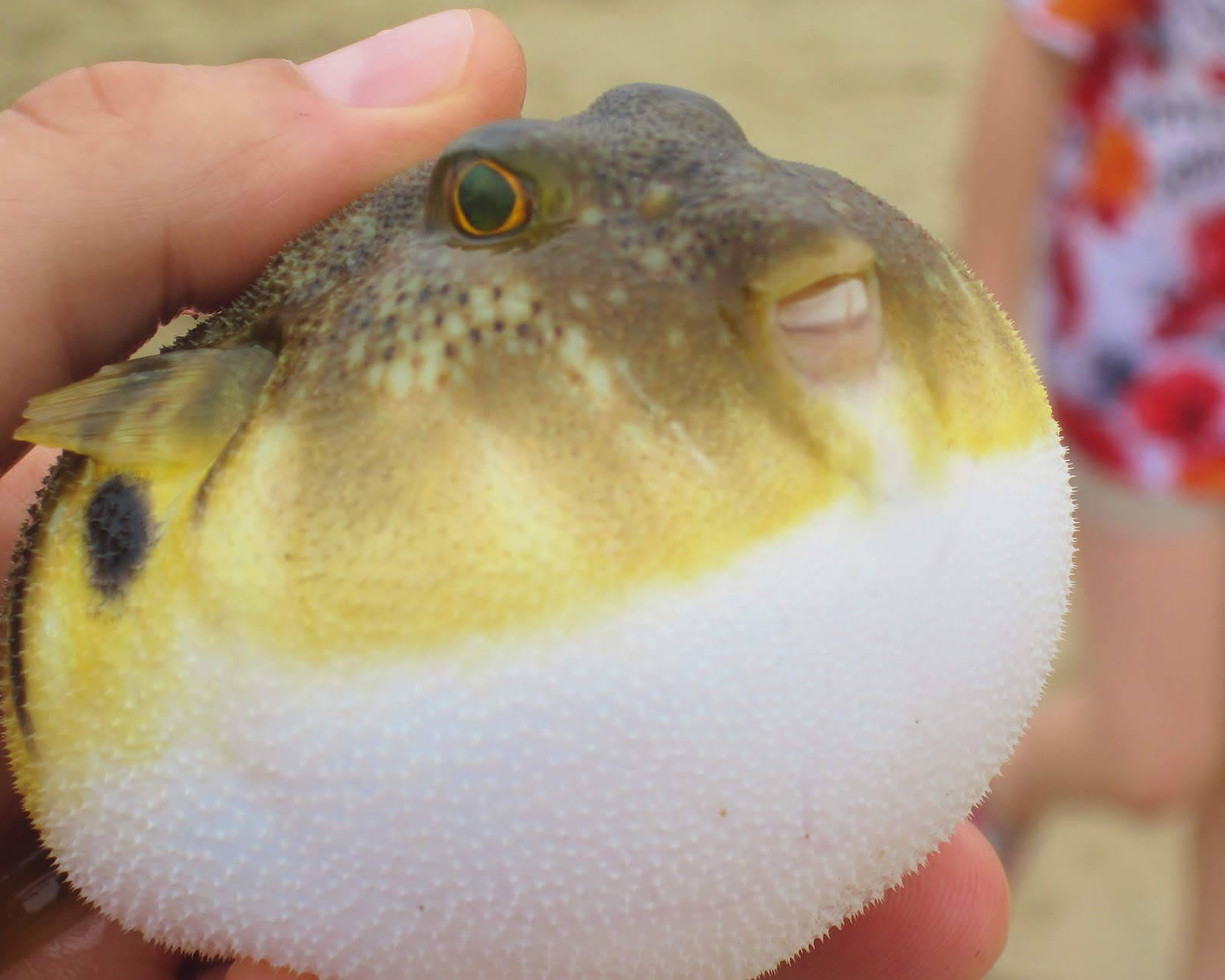 Blow fish blowing in ny harbor nature on the edge of new for How much is a puffer fish