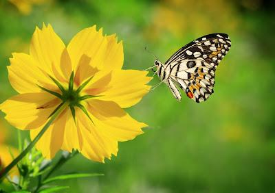 Mariposa en el jardín sobre una linda flor de color amarillo