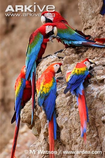 interactions between macaws red and green macaw