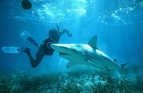 Life of Blacktip Shark Life of Sea