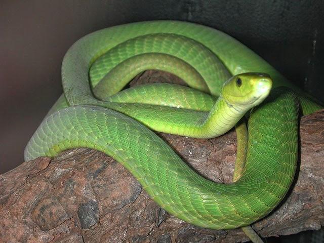 Cobra Africana Verde