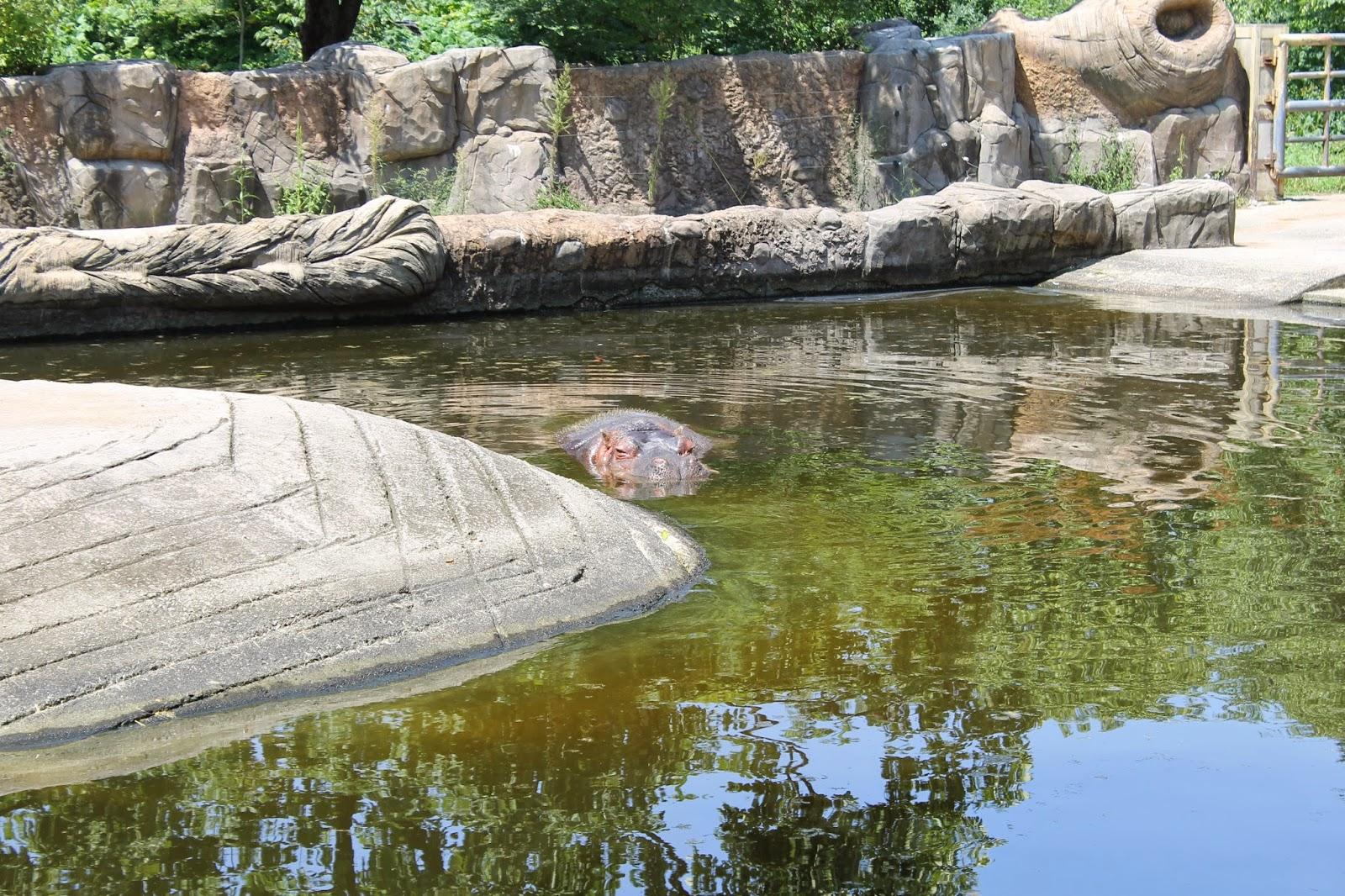 Seoul Zoo, Seoul, зоопарк в сеуле, сеул, корея, зоопарк, бегемот