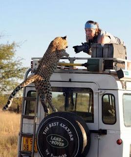 grappige foto: tijger op de auto