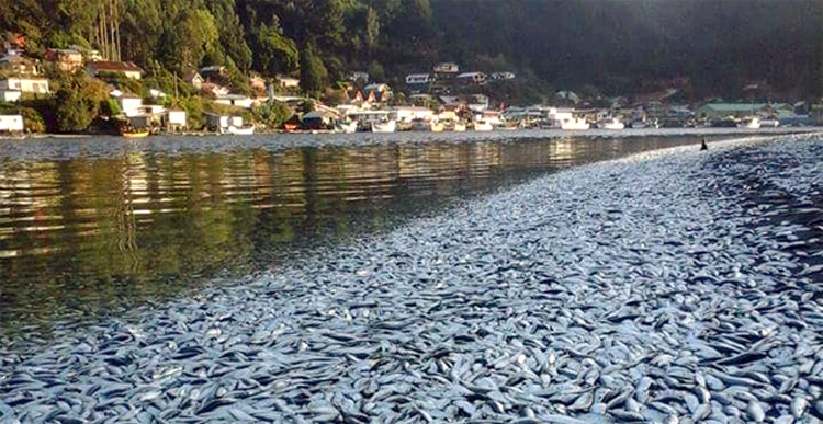 Almost 50,000 tonnes of dead salmon and sardines along with millions of dead clams off the coast...
