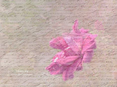 Rose with Texture & Script Overlay