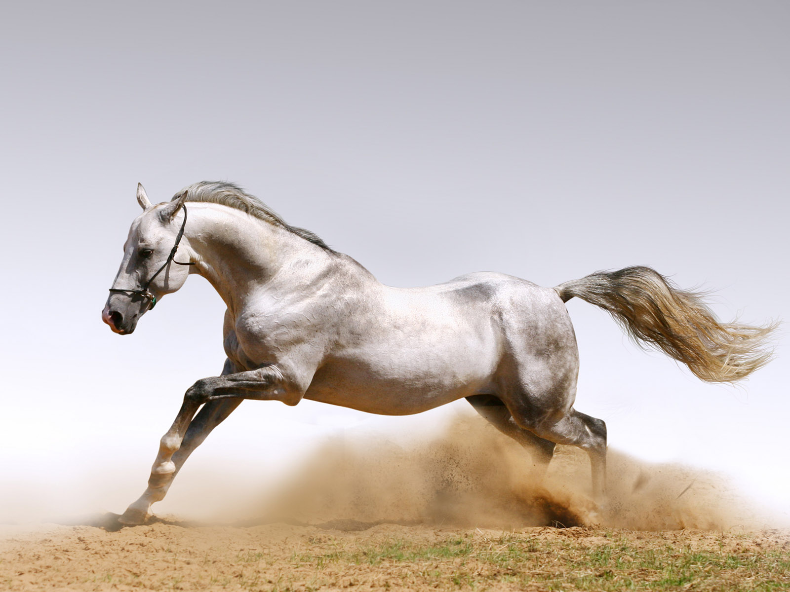 White running horses - photo#3