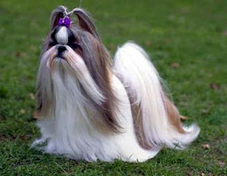 Shih Tzu Dog Pictures