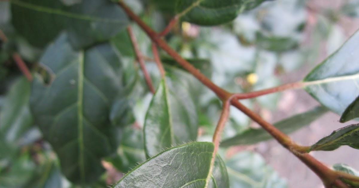 Herbier du jardin arbustes persistants - Arbustes persistants petite taille ...