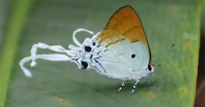 Fluffy Tit (Zeltus amasa maximinianus)