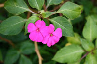 Impatiens Plant with Flowers