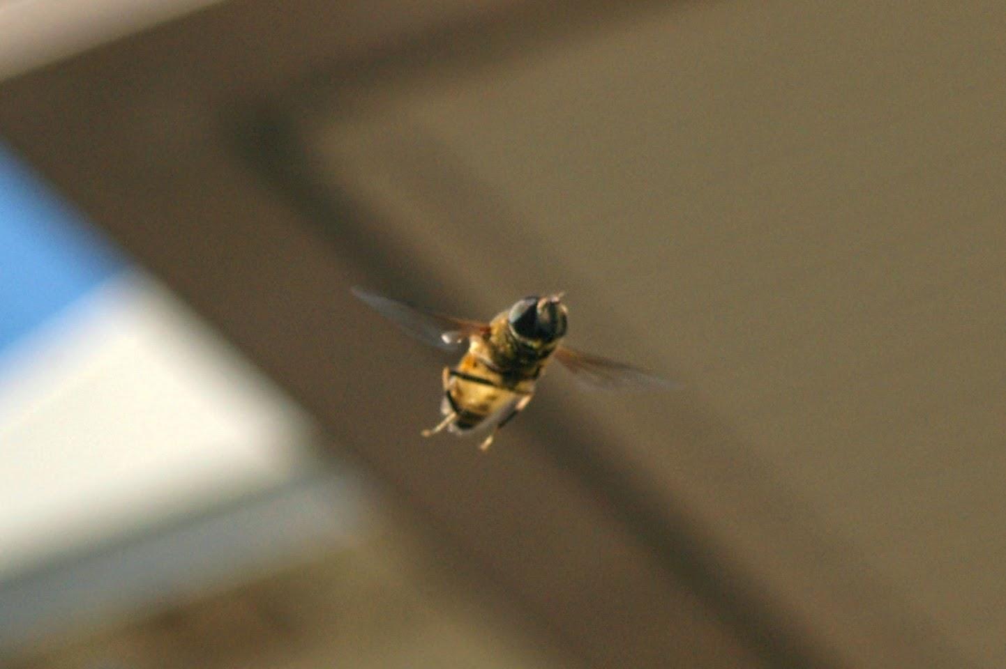 ミツバチの画像 p1_37