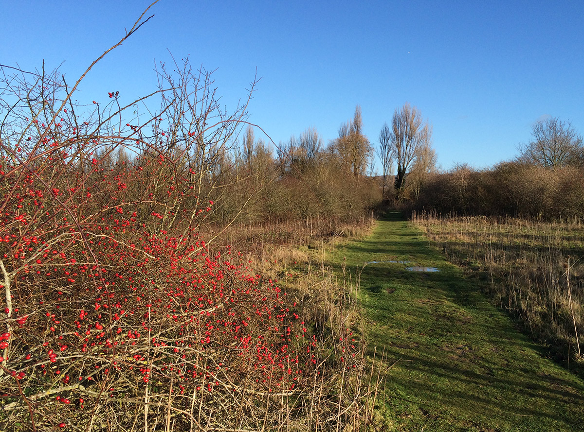 Rose bush with hips on a flood plain.  Leybourne Lakes, 2 January 2014.