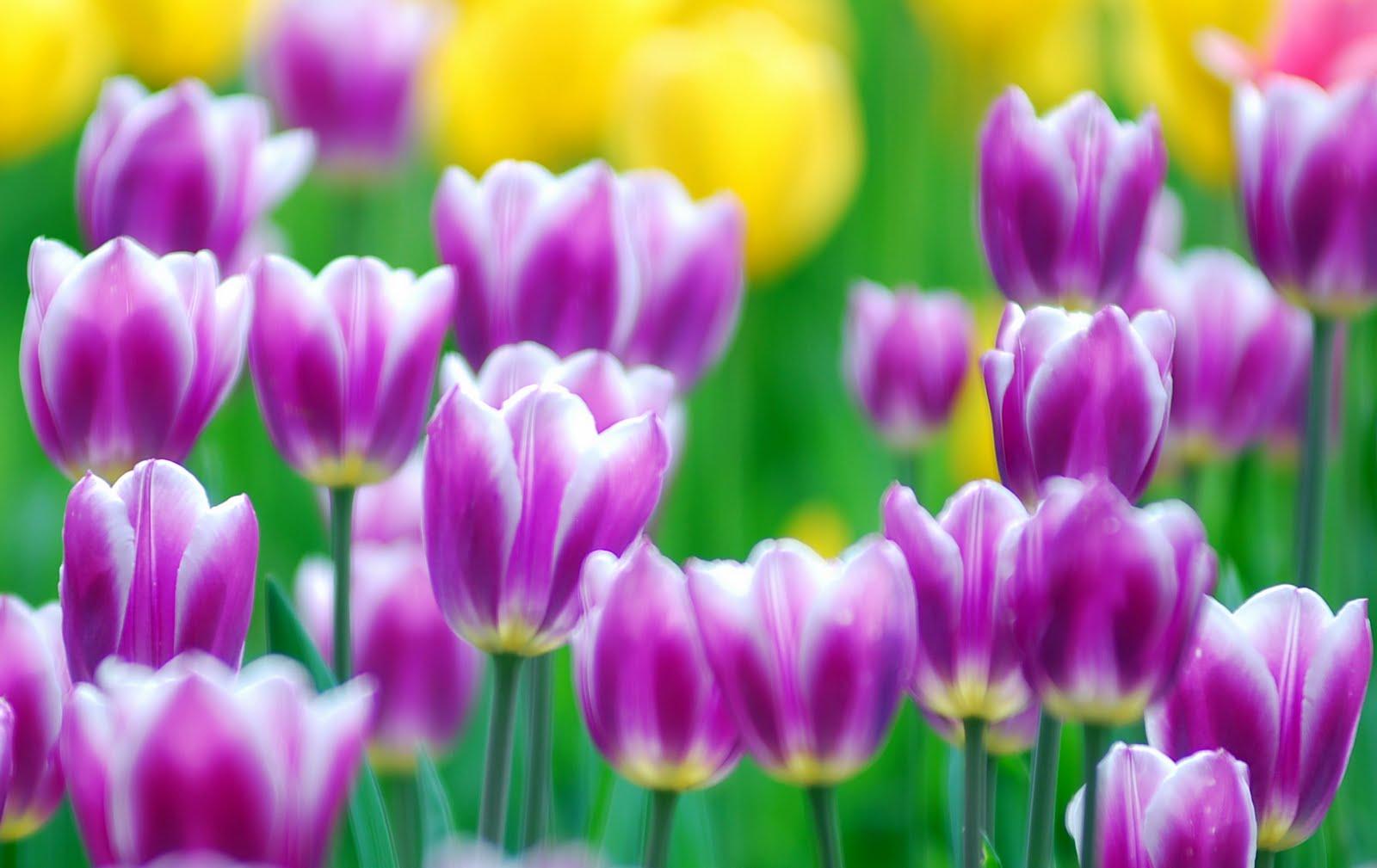 http://2.bp.blogspot.com/-f5KwuTDDJdQ/TfUYGlcMXjI/AAAAAAAAUbM/TKPNwceLuWY/s1600/Tulips-flower-wallpaper-1.jpg