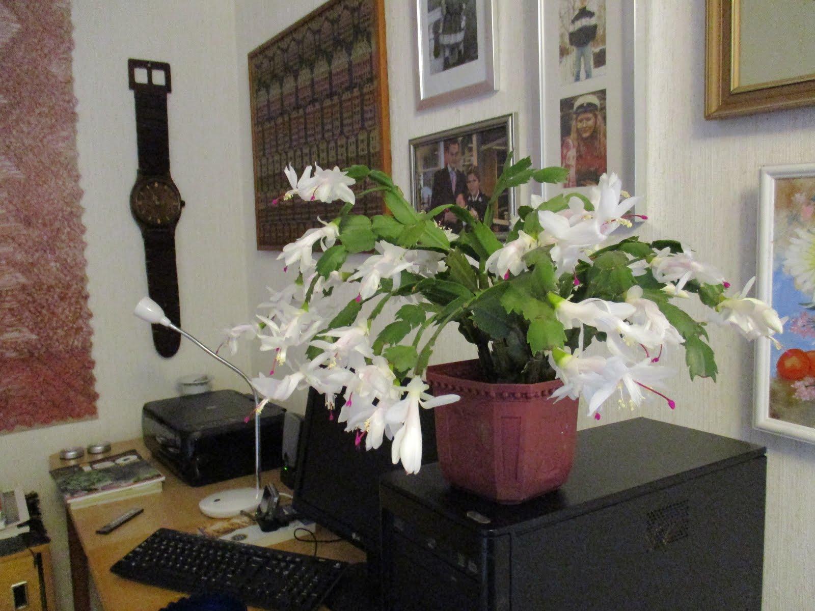 Marraskuun kaktus Schlumbergia
