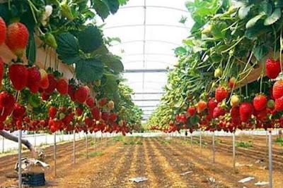 Wisata petik strawberry lembang bandung