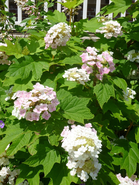 Oakleaf hydrangea (Hydrangea quercifolia) flowers fade from white to pink