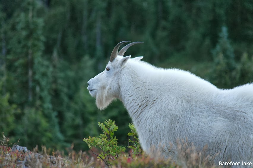 Olympic mountain goat